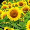 Семена подсолнечника Армада CL