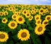 РЕКОЛЬД семена подсолнечника, гибрид толерантен к трибенурон-метилу - гербицид Экспресс ®,