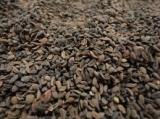 Семена фацелии