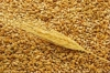 Пшеница. Семена пшеницы.