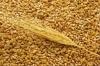 Семена озимой пшеницы Землячка Одесская